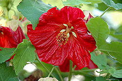 Bella Red Flowering Maple (Abutilon 'Bella Red') at Plants Unlimited