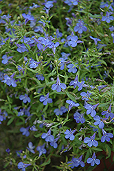 Techno® Heat Electric Blue Lobelia (Lobelia erinus 'Techno Heat Electric Blue') at Plants Unlimited