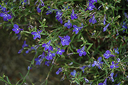 Techno® Heat Dark Blue Lobelia (Lobelia erinus 'Techno Heat Dark Blue') at Plants Unlimited