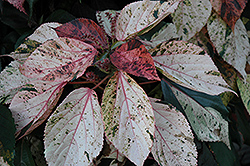 Jacob's Coat (Acalypha wilkesiana) at Plants Unlimited