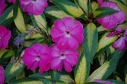 Strike Orchid New Guinea Impatiens (Impatiens hawkeri 'Strike Orchid') at Plants Unlimited