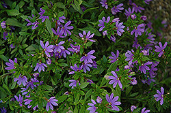 Bombay Dark Blue Fan Flower (Scaevola aemula 'Bombay Dark Blue') at Plants Unlimited