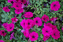 Wave Purple Classic Petunia (Petunia 'Wave Purple Classic') at Plants Unlimited