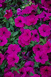 Wave Purple Petunia (Petunia 'Wave Purple') at Plants Unlimited