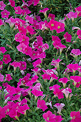 Shock Wave Rose Petunia (Petunia 'Shock Wave Rose') at Plants Unlimited