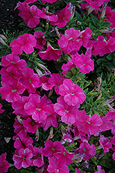 Pretty Flora Pink Petunia (Petunia 'Pretty Flora Pink') at Plants Unlimited