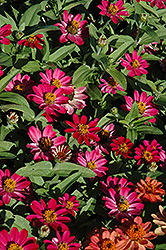 Profusion Cherry Zinnia (Zinnia 'Profusion Cherry') at Plants Unlimited