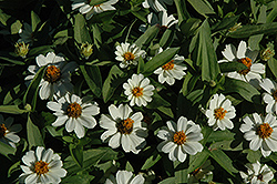 Profusion White Zinnia (Zinnia 'Profusion White') at Plants Unlimited