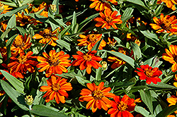 Profusion Orange Zinnia (Zinnia 'Profusion Orange') at Plants Unlimited