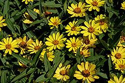 Profusion Yellow Zinnia (Zinnia 'Profusion Yellow') at Plants Unlimited