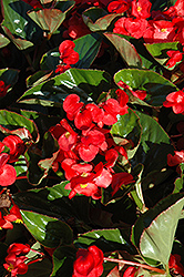 Whopper® Red Green Leaf Begonia (Begonia 'Whopper Red Green Leaf') at Plants Unlimited