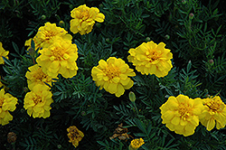 Durango Yellow Marigold (Tagetes patula 'Durango Yellow') at Plants Unlimited