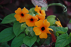 Sunny Susy Red Orange Black-Eyed Susan (Thunbergia alata 'Sunny Susy Red Orange') at Plants Unlimited