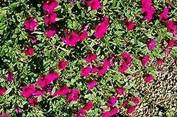Noa Dark Purple Calibrachoa (Calibrachoa 'Noa Dark Purple') at Plants Unlimited