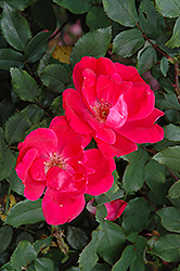 Red Knock Out® Rose (Rosa 'Red Knock Out') at Plants Unlimited