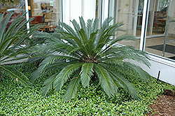 Japanese Sago Palm (Cycas revoluta) at Plants Unlimited
