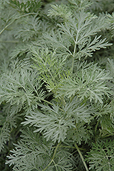 Powis Castle Artemesia (Artemisia 'Powis Castle') at Plants Unlimited