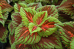 Kong Salmon Pink Coleus (Solenostemon scutellarioides 'Kong Salmon Pink') at Plants Unlimited