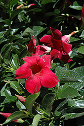 Red Mandevilla (Mandevilla 'Red') at Plants Unlimited