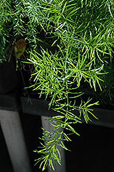 Sprengeri Asparagus Fern (Asparagus densiflorus 'Sprengeri') at Plants Unlimited