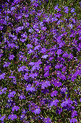 Regatta Midnight Blue Lobelia (Lobelia erinus 'Regatta Midnight Blue') at Plants Unlimited