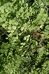 Southern Maidenhair Fern (Adiantum capillus-veneris) at Plants Unlimited