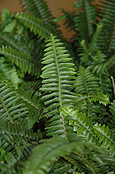 Australian Sword Fern (Nephrolepis obliterata) at Plants Unlimited