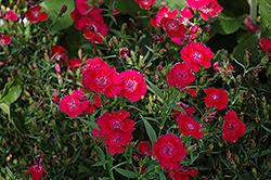 Ideal Select Red Pinks (Dianthus 'Ideal Select Red') at Plants Unlimited
