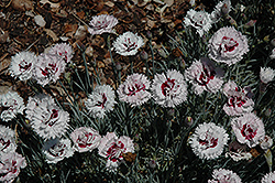 Silver Star Pinks (Dianthus 'Silver Star') at Plants Unlimited