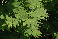 Rising Sun Fullmoon Maple (Acer japonicum 'Rising Sun') at Plants Unlimited