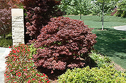 Rhode Island Red Japanese Maple (Acer palmatum 'Rhode Island Red') at Plants Unlimited
