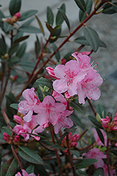Aglo Rhododendron (Rhododendron 'Aglo') at Plants Unlimited