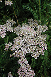 Summer Berries Yarrow (Achillea millefolium 'Summer Berries') at Plants Unlimited