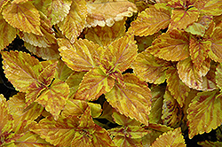 Freckles Coleus (Solenostemon scutellarioides 'Freckles') at Plants Unlimited