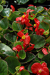 Super Olympia Red Begonia (Begonia 'Super Olympia Red') at Plants Unlimited
