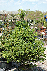 North Star Spruce (Picea glauca 'North Star') at Plants Unlimited