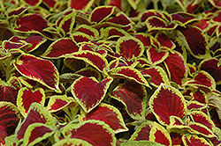 Wizard Scarlet Coleus (Solenostemon scutellarioides 'Wizard Scarlet') at Plants Unlimited