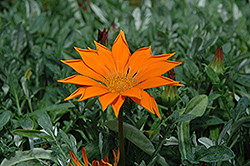 New Day Clear Orange Gazania (Gazania 'New Day Clear Orange') at Plants Unlimited