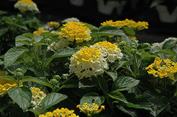Bandana® Lemon Zest Lantana (Lantana camara 'Bandana Lemon Zest') at Plants Unlimited