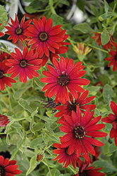 Zion Red African Daisy (Osteospermum 'Zion Red') at Plants Unlimited