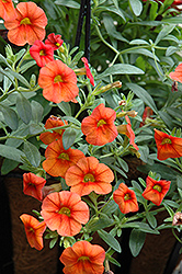 Superbells® Dreamsicle Calibrachoa (Calibrachoa 'Superbells Dreamsicle') at Plants Unlimited