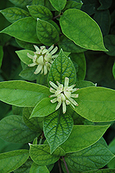 Athens Sweetshrub (Calycanthus floridus 'Athens') at Plants Unlimited
