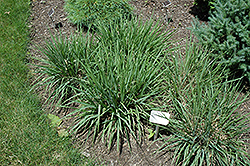Purple Lovegrass (Eragrostis spectabilis) at Plants Unlimited