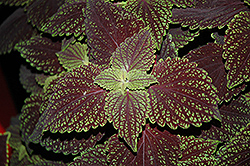 Abbey Road Coleus (Solenostemon scutellarioides 'Abbey Road') at Plants Unlimited