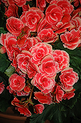 Borias Begonia (Begonia 'Borias') at Plants Unlimited
