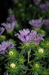 Mel's Blue Aster (Stokesia laevis 'Mel's Blue') at Plants Unlimited