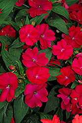 SunPatiens® Compact Royal Magenta New Guinea Impatiens (Impatiens 'SunPatiens Compact Royal Magenta') at Plants Unlimited