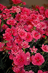 EverLast™ Dark Pink Pinks (Dianthus 'EverLast Dark Pink') at Plants Unlimited