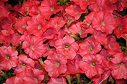 Easy Wave Coral Reef Petunia (Petunia 'Easy Wave Coral Reef') at Plants Unlimited