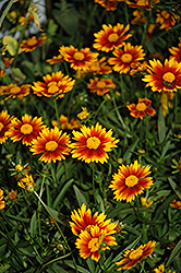 Lil' Bang™ Daybreak Tickseed (Coreopsis 'Daybreak') at Plants Unlimited